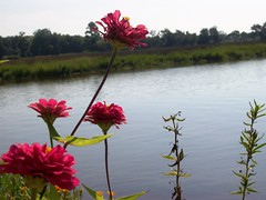 (cehender) Tags: flowers sun nature water river southcarolina charleston plantation wildflower magnoliagardens