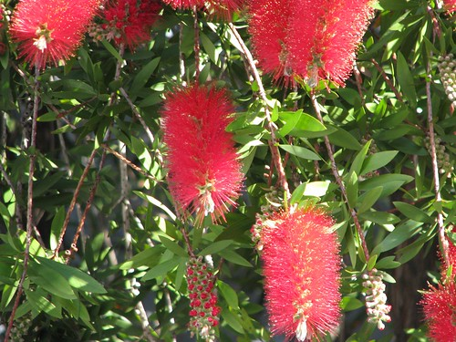San Fernando bottle brush