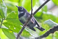 Whistling Warbler (Catharopeza bishopi) (jmittermeier) Tags: fbwnewbird fbwadded whistlingwarbler catharopeza catharopezabishopi