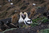 Albatross chicks
