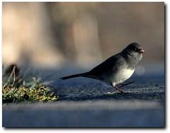early morning stroll (vicipix) Tags: light bird rural morninglight bokeh junco country avian darkeyedjunco natuare