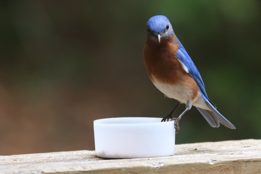 bluebird_meal_worms900