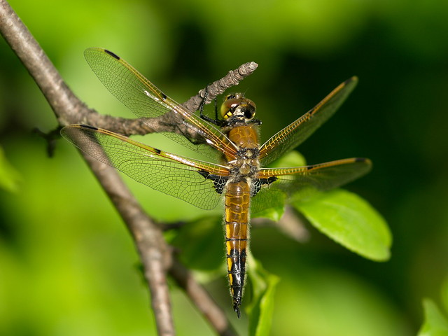 A Four-Spotted Skimmer dragonfly at Murphy-Hanrehan Park Reserve, in Savage, Minnesota.