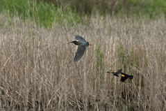 Being chased (violetflm) Tags: d2x il chase redwingedblackbird glenview greenheron airstationprairie cf38381