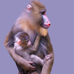 """mother and son"" (rogersmithpix) Tags: wildlife primates adelaidezoo mandrillussphinx babymandrill mandrillbaby quotadelaide"