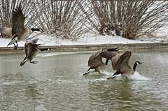 Water landing (Jojo Septantesix (way behind)) Tags: winter snow canada cold ice water geese colorado fort flight goose landing land collins vision:outdoor=0987