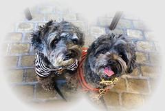 Faces to melt a Heart ❤️❤️💕 (Dark YorkiPoos) Tags: mia kia hypoalergenic poodle yorkie mix yorkiepoo terripoo small fluffy shaggy hybrid