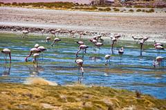 Crowd. (david takes photos) Tags: losflamencosnationalreserve reservanacionallosflamencos salardetara tara atacama chile flamingo flamingoes sanpedrodeatacama regióndeantofagasta x