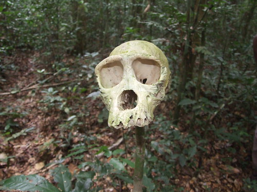Bonobo skull in hunting camp