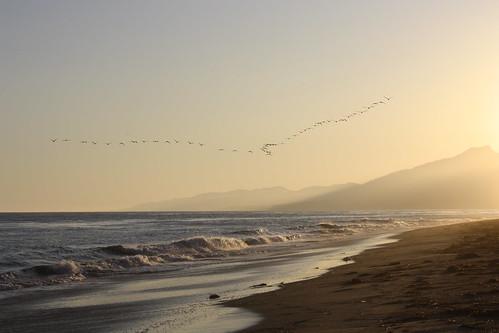 a v of pelicans