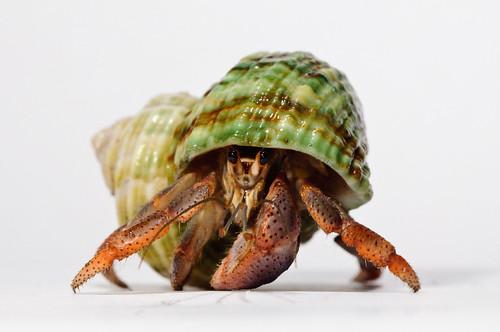 Hermit_crab-7