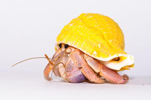 Hermit_crab-1