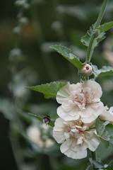 Parc Floral - Vincennes-40 (MissDogo) Tags: paris macro fleur closeup animaux parc abeilles insectes vincennes parcfloral bourdon proxyphoto hym hyménoptères hymnoptres
