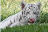 Bugs...yum! (jennifernikon) Tags: nc tiger whitetiger cnpa rockwellnc tigerworld babywhitetiger