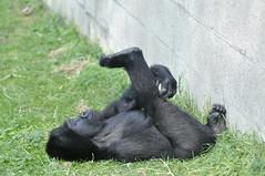 Western Lowland Gorilla (Truus & Zoo) Tags: netherlands animals zoo arnhem burgers apes dierentuin westernlowlandgorilla criticallyendangered gorillagorillagorilla westelijkelaaglandgorilla