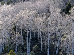 birch trees wyoming montana utah colorado southwest america usa national parks parchi photo foto (Saro Di Bartolo) Tags: trees usa southwest america utah photo colorado montana foto parks national birch wyoming parchi