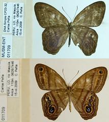 Splendeuptychia