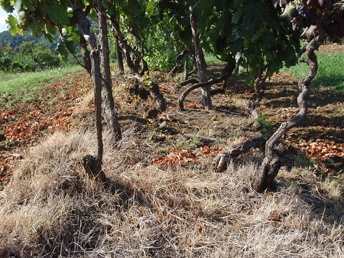 More than 100yr old vines of Teran. Note the high density of planting