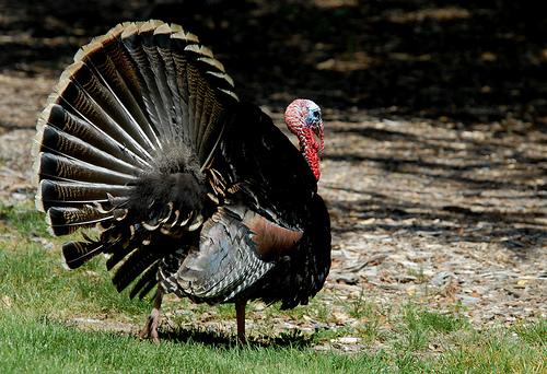 turkey oliver3