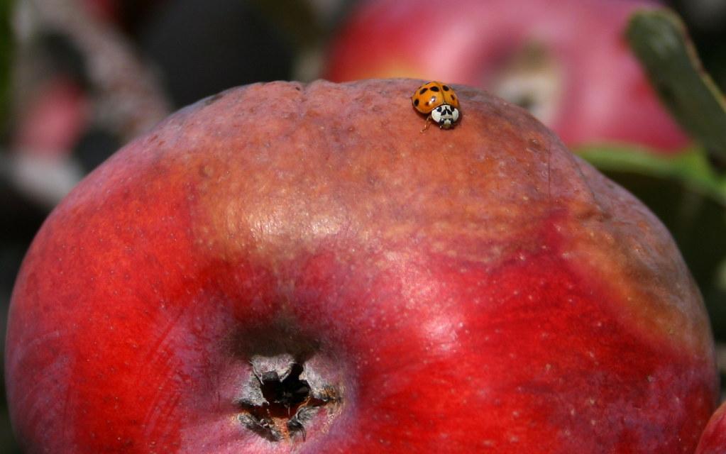 dastardly ladybug