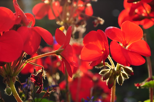 Autumn Geraniums