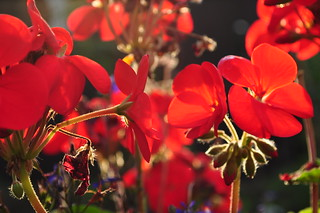 Autumn Geraniums
