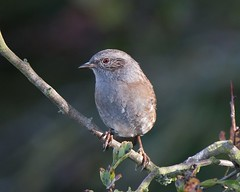 Dunnock ( with attitude ) (Andrew Haynes Wildlife Images) Tags: bird eye nature feathers dunnock resevoir draycote draycotewater ajh2008
