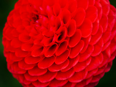 Another dahlia! (MatthewOsbornePhotography_) Tags: uk dahlia flower g1 redbloom ntgardens