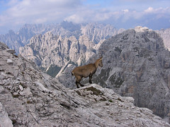 In vedetta (mauro742) Tags: italy green nature hiking natura monte alpinismo montagna moutain fvg dolomites friuliveneziagiulia stambecco dolomitifriulane valsettimana pramaggiore escursionimo