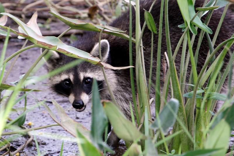 Raccoon Caught in the Act