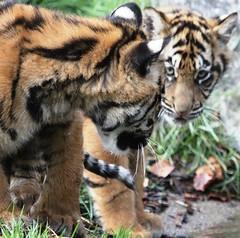Don't Look Back In Anger (Gary Wilson  ) Tags: ireland dublin nature animal canon eos zoo cub wildlife tiger bigcat panther sumatran tigercub dublinzoo 100400l 50d ef14x platinumheartaward emaswanita