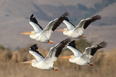 in fours (Mr. Bilal) Tags: california usa pelicans nature birds wildlife greatwhitepelican sigma14xteleconverter coyotehillsregionalpark ef300mmf4lisusm canoneos5dmarkii ebparksok