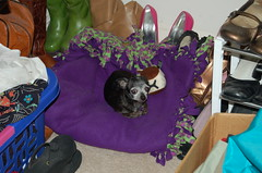 closet case... (kelly-bell) Tags: dog pet chihuahua closet bed little julio tiny hiding opp