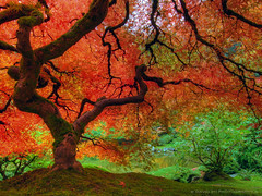 Autumn Colors at Portland Japanese Garden (David Gn Photography) Tags: autumn fall oregon portland landscape japanesegarden pdx portlandjapanesegarden hdr washingtonpark sigma1020mm japanesemapletree platinumheartaward platinumpeaceaward canoneosrebelt1i