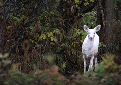 Seneca white deer (Abizeleth) Tags: white fall misty forest upstateny deer shrubs whitetaileddeer odocoileusvirginianus whitedeer explored takenfromabus senecaarmydepot