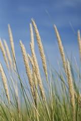Reeds (Deydodoe) Tags: uk greatbritain england beach grass canon reeds sussex coast seaside all westsussex britain  rights vegetation grassland 2009 reserved westwittering 30d easthead canon30d allrightsreserved deydodoe
