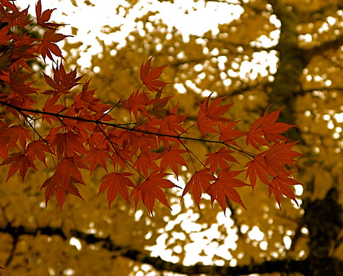 Trees aflame with colored autumn leaves