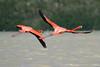 American flamingo (Phoenicopterus ruber) (bayucca) Tags: bird flamingo slbflying rotary mineex stiftungmineex postcards postkarten charity wohltätigerzweck verkauf foundationmineex phoenicopterusruber rosaflamingo lifetnc10 americanflamingo brackishwater carotinoids crabs wadingbirds