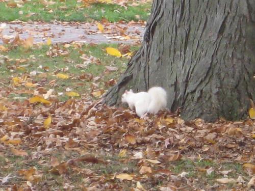 white squirrel, oberlin, ohio