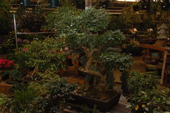 Mahoney's Christmas Garden Center, Winchester MA: Bonsai tree selection (Chris Devers) Tags: garden store farm massachusetts greenhouse bonsai bonsaitree winchester 2009 bostonist gardencenter winchesterma mahoneys universalhub cameranikond50 exif:exposure_bias=0ev exif:exposure=0017sec160 exif:focal_length=24mm lens18200vr exif:aperture=f40 camera:make=nikoncorporation mahoneysgardencenter exif:flash=autofiredreturndetected camera:model=nikond50 mahoneyschristmasgardencenter meta:exif=1260163567 exif:orientation=horizontalnormal exif:lens=18200mmf3556 exif:filename=dscjpg exif:vari_program=auto exif:shutter_count=39004 meta:exif=1350399768