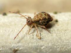 Pixel Patterns (zxgirl) Tags: night bug flash bugs mybackyard springtail s5 springtails collembola globular dcr250 raynox img4301 symphypleona globularspringtail ptenothrix globularspringtails ptenothrixrenateae renateae