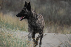 Hester (moniek de jager) Tags: dutch shepherd herder hollandse kennelvenstavast