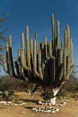 Reserva de la Biosfera Tehuacan (srmurphy) Tags: holiday tag3 d50 geotagged mexico urlaub natur pflanze tehuacan puebla 2009 mexiko distritofederal kaktus rundreise djoser kakteen lateinamerika mittelamerika santaines tamronspaf1750mmf28xrdiiildaspherical exif:iso_speed=200 exif:focal_length=34mm camera:make=nikoncorporation riesenkaktus camera:model=nikond50 exif:make=nikoncorporation geo:lat=1943062232 geo:lon=9917066422 exif:model=nikond50 geo:city=santaines geo:state=distritofederal exif:lens=170500mmf28 geo:countrys=mexiko reservadelabiosferatehuacan geo:lat=1839883634 geo:lon=9740478516