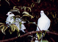 Doves in the Botanical Gardens Napier New Zealand 1991