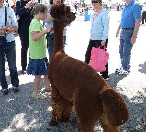 It's an alpaca!