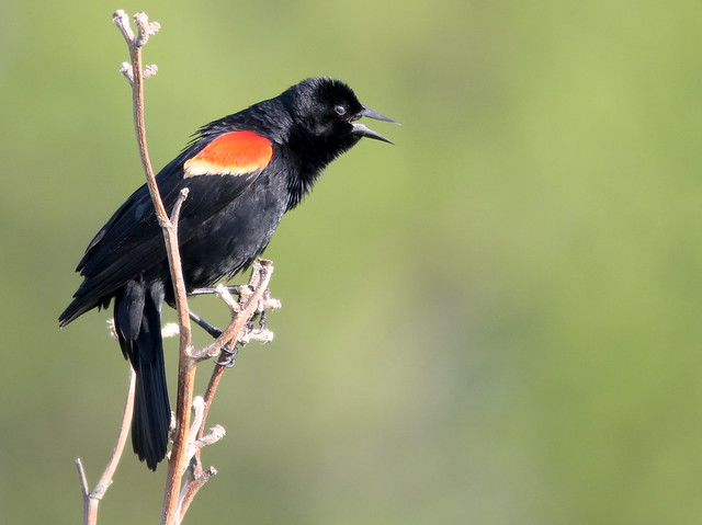 Red-winged Blackbird 20110513