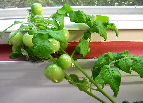 Aerogarden - Many Ripening Tomatoes