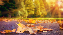 Autumn Leaves (Riyazi) Tags: autmn leaves sun sunlight sunshine leaf death dead ground life plans sunrays sunbeams