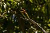 Chestnut-headed Bee-eater (Paradise in Portugal) Tags: srilanka chestnutheadedbeeeater