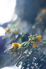 ILCE-6000-08177-20170222-0801 // Meyer-Optik Gorlitz Oreston 50mm 1:1.8 (Otattemita) Tags: 50mmf18 florafauna görlitz meyeroptik meyeroptikgörlitzoreston50mmf18 oreston fauna flora flower nature plant wildlife meyeroptikgorlitzoreston50mm118 sony sonyilce6000 ilce6000 50mm cnaturalbnatural ota
